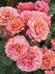best 25 pictures of roses ideas on pinterest rose drawings