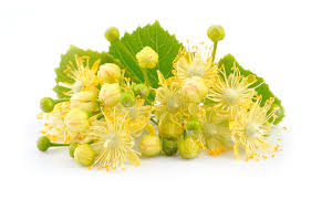 linden flower linden flowers stock photo image of lime disorders 31153570