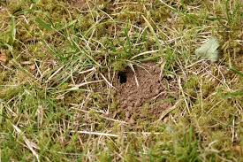 How To Get Rid Of Moles In The Backyard by Small Holes In Yards U2013 Tips For Identifying Holes Throughout The Lawn