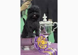 affenpinscher at westminster westminster dog show 2016 best in show