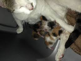 cats afterpains do cats have a runt of the litter last thecatsite