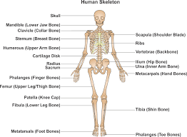 arm anatomy bones image collections learn human anatomy image