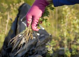 native plants of alaska programs natural resources weeds and invasives blm control