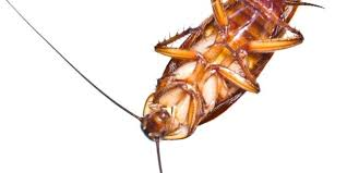 cafard cuisine cafard blatte 2 insecte lolabanet com