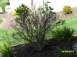what is the problem with my dwarf korean lilac bushes ask an expert