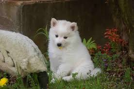 how big is american eskimo dog file american eskimo dog puppy 1 jpg wikimedia commons