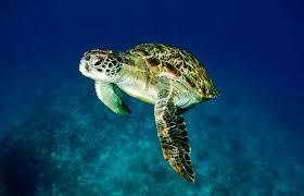 imagenes tortugas verdes tortuga verde chelonia mydas fundación cram