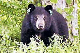 Are Bears Color Blind Connecticut Deep Urges Caution Preparation As Bear Sightings Rise