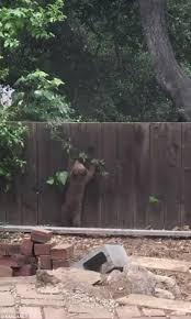 Backyard Fence Adorable Bear Cub Tries To Climb Over A Backyard Fence Daily