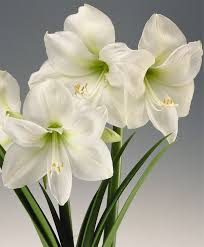 amaryllis flowers amaryllis christmas gift royal single amaryllis