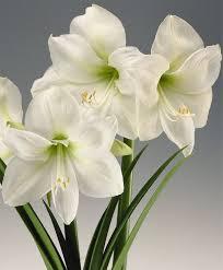 amaryllis gift