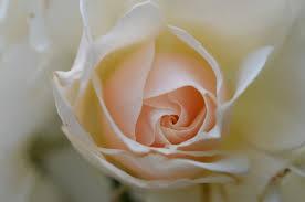 Flower Com Rose Flowers Free Stock Photos Download 11 808 Free Stock Photos