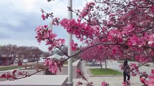 cherry and pink apple blossoms tree