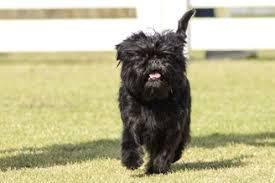 affenpinscher vs brussels griffon small dogs list of small dog breeds