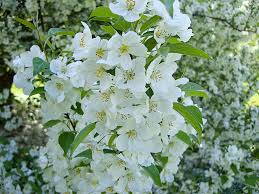 tree with white flowers pictures of white flowering trees white flowering trees