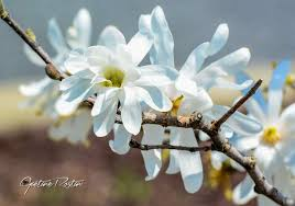 Beautiful Pictures Of Spring by Branch Of Magnolia Star Magnolia Stellata Pretty Flower Of
