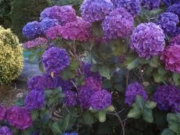 Purple Hydrangea Hydrangeas City Garden Ideas