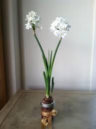 paperwhite flowers floral jar garden jar gardens