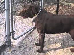 american eskimo dog price in india pure black color retriever labrador currently for sale in india
