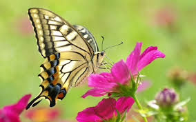 butterfly flower butterfly and flower wallpapers wallpaper cave