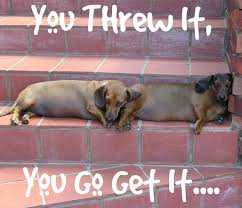 Weiner Dog Meme - 24 dachshund memes that will totally make your day sayingimages com