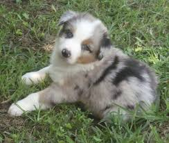 australian shepherd dog puppies australian shepherd red merle puppies picture dog breeders guide