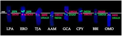 genes free full text x chromosome evolution in cetartiodactyla