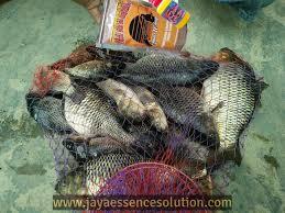 cara membuat umpan mancing ikan mas harian tips cara mudah membuat umpan ikan mas lomba harian yang jitu dan
