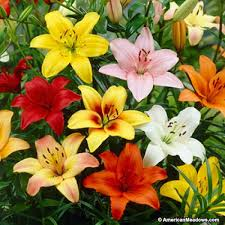 lilies flower asiatic bulbs mix lilium american