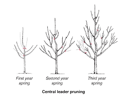 diagram showing three trees in stages of central leader pruning