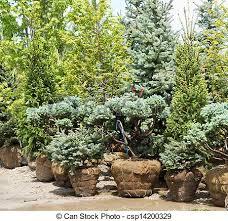 stock photo of ornamental pine trees few ornamental pine trees
