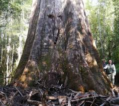australia s largest trees big tree giant trees australia s