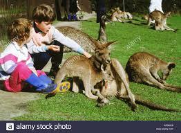 children with grey kangaroo macropus giganteus at zoo in sydney