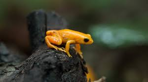 mantella san diego zoo animals u0026 plants