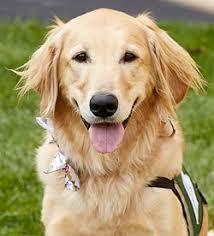 Comfort Retrievers Animal Assisted Therapy Program Child Life At Cincinnati Children U0027s