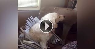 Dog Blinds Hilarious Dog Destroys The Blinds Of The House She Looks So