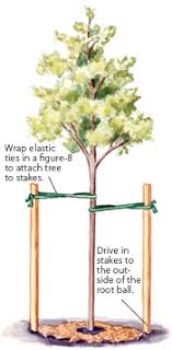 tree stakes how to stake a tree garden gate magazine