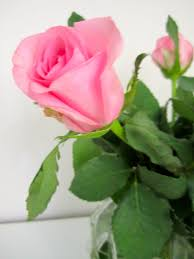 Meaning Of Pink The Meaning Of Roses Sara Elman