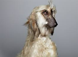 afghan hound meet duke the stellar and beautiful afghan hound