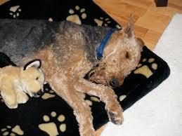american pitbull terrier z hter deutschland kanton zürich bans specific dog breeds as of jan 2010 english