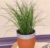 erba cipollina in vaso erba cipollina erba aromatica usi e propriet罌 alimentipedia