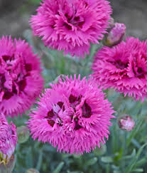 dianthus flower fruit punch spiked punch pinks dianthus hybrid proven winners