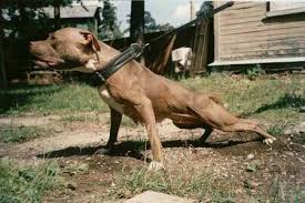 colby american pitbull terrier adams gr ch zebo rom game dog history for the true game dog