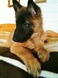 south australian german shepherd breeders 25 best german shepherd pups ideas on pinterest german sheperd
