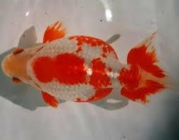 izumo nankin goldfish modern farming methods