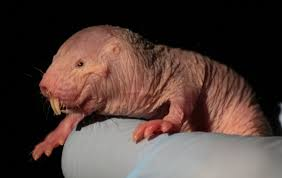 Naked Mole Rat Meme - how naked mole rats plant like behaviour to avoid oxygen