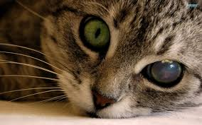 eye and respiratory problems in your cat