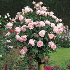 Fragrant Rose Plants - most fragrant roses david austin roses