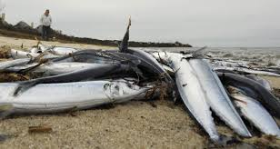 photos photo gallery thousands of atlantic saury wash ashore