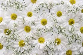 baby s breath flowers composition of daisies and baby s breath flowers photo free